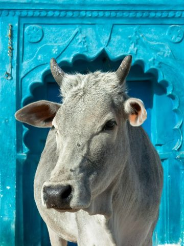 An indian holy cow