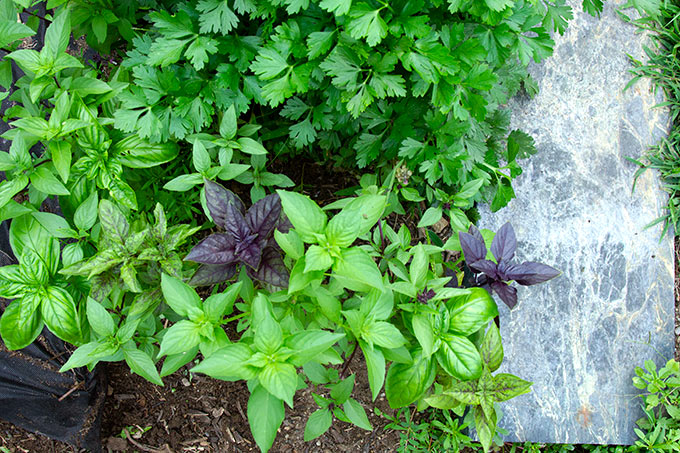 genovese basil in the garden
