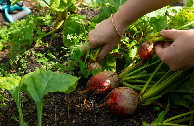 picking beets from the garden