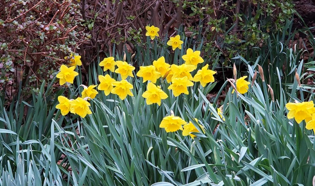 daffodils blooming in spring